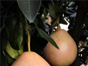 三紅蜜柚果苗