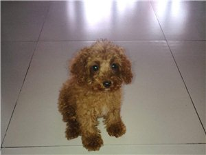 出售3个月大自家养的泰迪狗狗