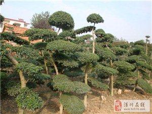潢川苗木售价大叶黄杨球、小叶黄杨球、小叶女贞造型树