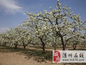 潢川果树售价核桃树、樱桃、杜梨树、葡萄、枇杷、枣树