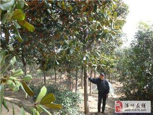 潢川行道树价格:广玉兰、深山含笑、池杉、白腊、楸树