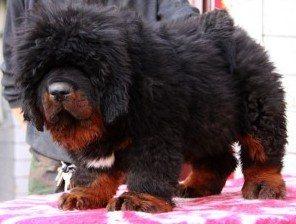 海南地区哪里有狗场海南到哪里买狗好藏獒犬价格