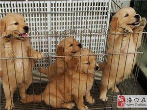 海南买狗海南卖狗海南什么地方出售金毛犬