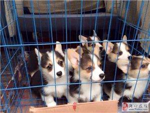 三亞哪里賣柯基犬三亞柯基犬價格