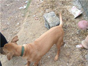 宾阳出售一只母斗狗,健康,毛色光泽