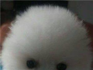 出售小體泰迪.比熊.博美,薩摩耶.金毛