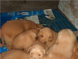 金毛幼犬出售
