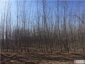出售107杨树苗4-7公分,占地50亩(涞水县城周边)