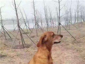 3月9日愛犬貝利在賈魯河旁走失棕色拉布拉多
