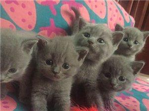 自家大猫繁殖的幼猫蓝猫蓝白纯种品相好健康保障
