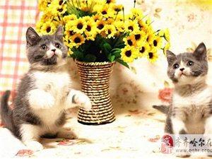 纯种猫英国短毛猫银渐层折耳猫金吉拉加菲猫波