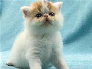火爆出售加菲貓專業繁殖溫順聰明不純包退