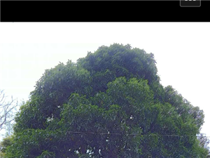 20年八月桂花树