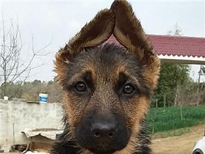 2个半月大的德国牧羊犬 - 1500元