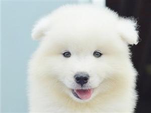 萨摩耶赛级萨摩CKU认证犬舍纯种健康