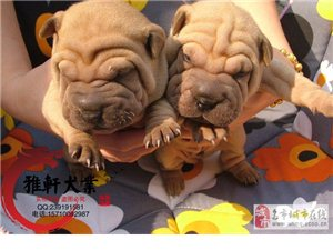 出售高品质沙皮狗幼犬体型完美健康纯种