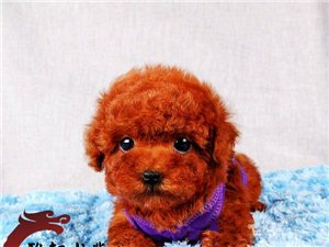 犬舍直销纯种健康可爱的泰迪血统终身保障