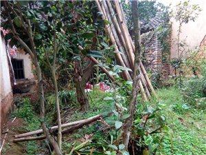 茶花树、桂花树、铁树、枇杷树、黄莲树、苹果树若干
