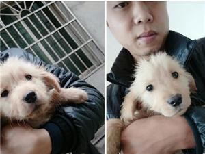 家养纯种金毛幼犬 - 600元