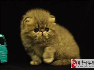 波斯貓貓舍出售波斯貓無病無癬協議質保