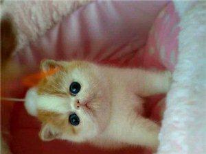 加菲貓出售純種品相極好超萌超可愛大臉貓