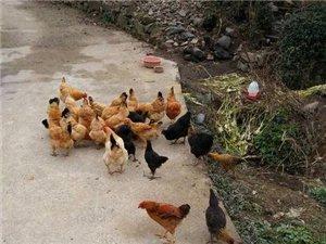 正宗土雞、土雞蛋