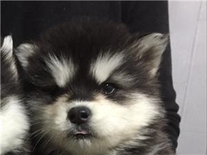 正规犬舍出售阿拉斯加