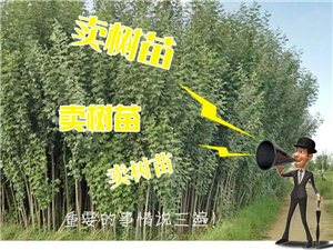新疆楊樹苗出售