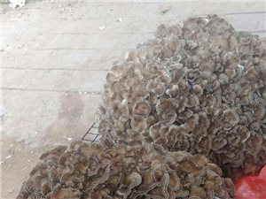 出售栗蘑,自己生产,品质有保证