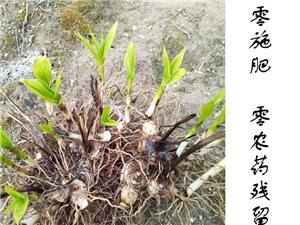 大别山纯紫花三叉大白芨茎块苗出售