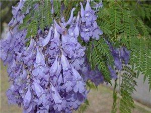 幾千棵三公分的紫薇出售