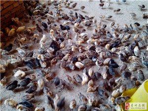 柴雞、烏雞、貴妃雞,鵝、鴨苗銷售