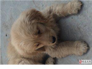 家里因為有兩只狗狗特轉讓一只金毛給愛狗的人