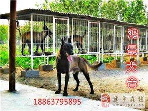 哪里出售3個月純種馬犬多少錢一只