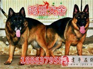 純種小德牧犬3個月牧羊犬幼犬多少錢