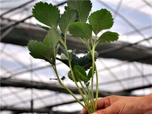 草莓苗出售