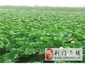 东宝仙居河水库大量出售藕种苗,价格优惠(长期有效)