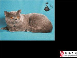 宠物猫蓝猫