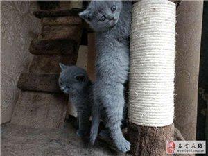 純種英短藍貓2000出售啦