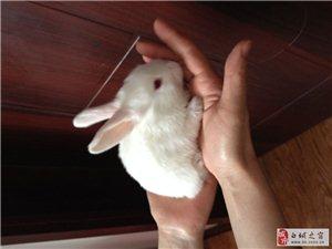 幼兔,可当宠物养,已出生43天