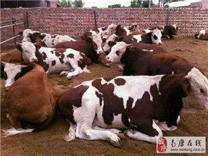 出售三到十二個月的肉牛