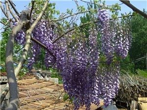 出售紫藤树