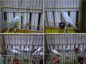 出售精品玉鳥崽子