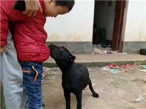 出售罗威纳防爆护卫幼犬