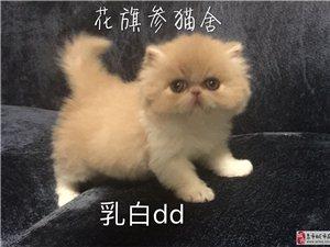 克拉玛依高品质美国CFA双血统加菲猫宝宝找新家