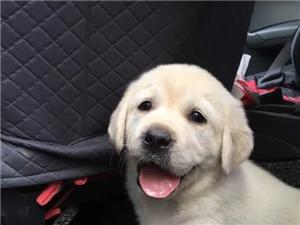 免費贈送拉布拉多犬,找個有愛心的人領養