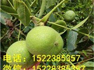 荆州两年核桃树,荆州核桃树苗价格,荆州核桃苗圃