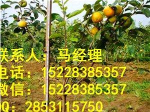 乐山良种柿子苗基地,乐山柿子苗培育,乐山柿子苗品种
