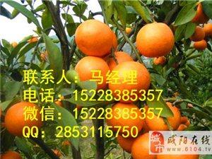 十堰嫁接橘子苗基地,十堰新品种橘子苗,十堰橘子苗种