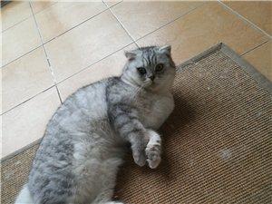 家里美短折耳生了一窝小猫,出售